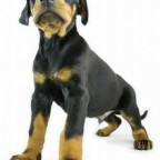 dobermann-puppy-isolated-1443758-m