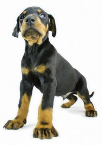 dobermann-puppy-isolated-1443758-m